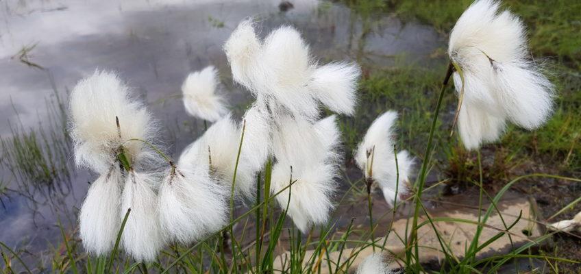 Herbe à coton ou Eriophorum ou Linaigrette