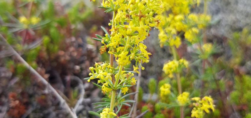 Laki lava flows - Gaillet (ou caille-lait) jaune ou Galium verum
