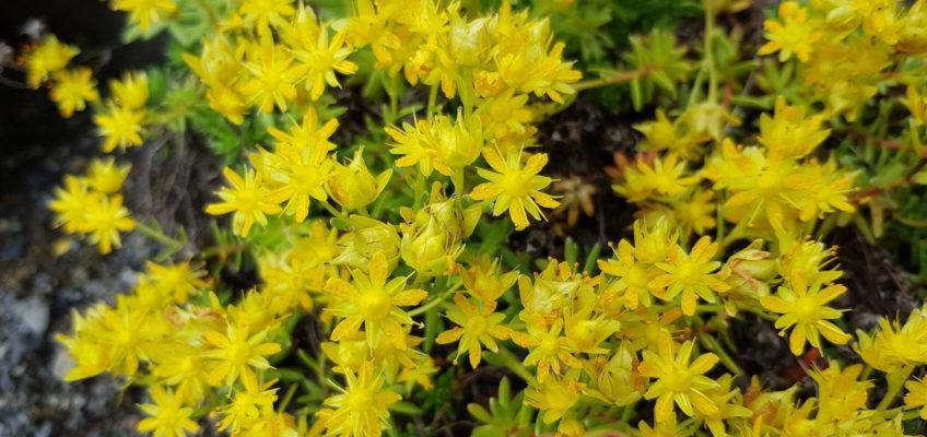 Svinafellsjokull - Saxifraga aizoides (ou saxifrage faux orpin)
