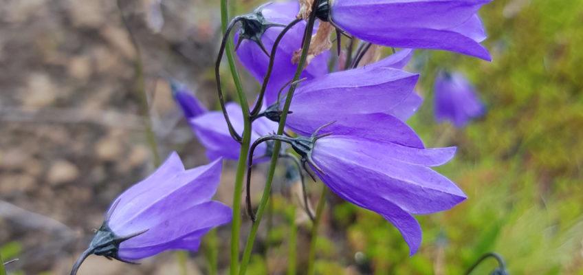 Islande été 2020- Campanula rotundifolia (ou campanule à feuilles rondes)