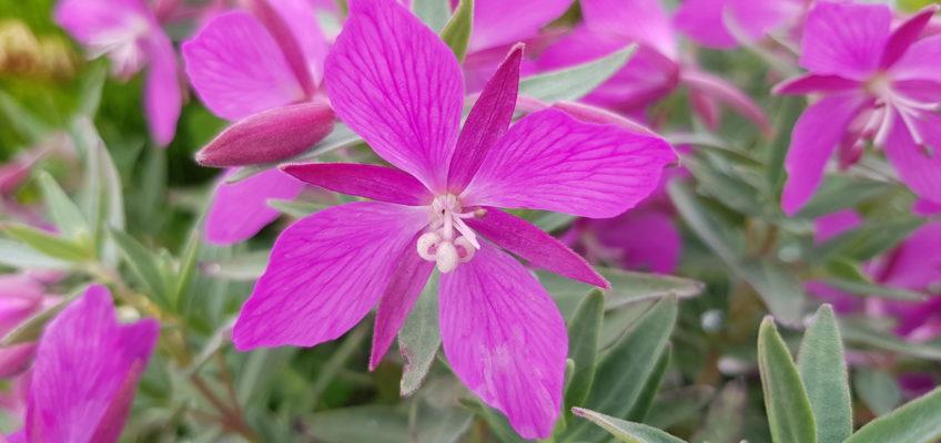 Islande été 2020 Chamerion (ou Epilobium) latifolium